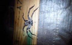 didžiulis voras