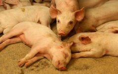 Kiaulių augintojai: šokiruojanti tiesa apie kiaulių auginimą