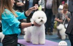 Garbanotieji bišonai – aristokratų šunys, paperkantys meilumu ir pozityvumu