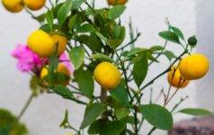 Kaip išauginti citrinmedį iš sėklos