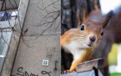 Tokio reginio vilnietis nesitikėjo: nufilmavo daugiabučio sienomis laipiojančią voverę