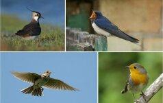Iššūkis miestiečio ausiai – ar atpažinsite paukščių balsus?