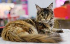 Norvegų miškinė katė – idealus pirmasis augintinis