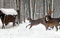 Miško žvėrims sniegas baisesnis nei šalčiai