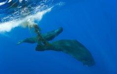 Niekad nepagalvotum: banginių išmatos gali sunaikinti arba išgelbėti pasaulį