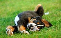 Ką daryti, jei šuniukas kandžiojasi