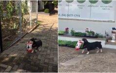 Gudrus šunelis moka savimi pasirūpinti: iš parduotuvės pats parsineša maisto