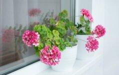 Nepakenčiantys sauso oro augalai: kaip jiems padėti
