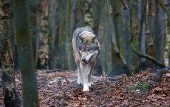 Aplinkos viceministras abejoja, ar moterį Plungėje galėjo užpulti vilkai