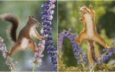 Fotografas linksmina internautus: prieš jo objektyvą voverės tampa kovotojomis