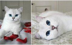 Pasaulį užbūrusi mėlynakė katė surengė fotosesiją lovoje