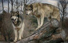 Gąsdinimai dėl vilkų: gamtininkas paaiškina, kokia yra reali grėsmė