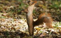 Irane sulaikytos voverės - šnipės?