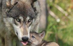 Vilkų medžioklė: liko tik penki taiklūs šūviai