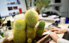 Kolekcininkė paaiškino, ką prie kompiuterio gali kaktusai