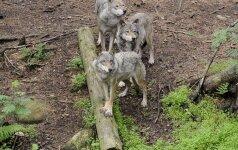 Aukštaitijoje vilkų gauja papjovė 14 prie pat namų buvusių avių