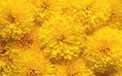Trumpos chrizantemų auginimo ir dauginimo rekomendacijos