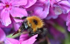 Kamanės gali apdulkinti tuos augalus, kurių nepasiekia bitės ir kiti vabzdžiai.