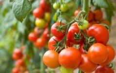 Kaip prižiūrėti pomidorus, kad džiugintų derlius