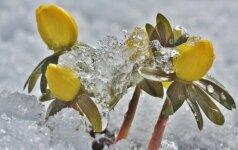 Pavasario pranašai: kokius augalus galime jais vadinti?