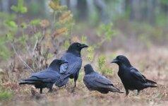 S. Paltanavičius: žalą pavasario paukščiams ir žvėreliams daro ne tik krankliai