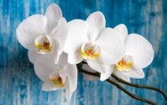 Gidas, kaip nusipirkti orchidėją, kuri papuoš kiekvieną būstą