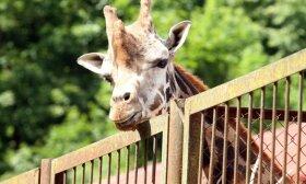 Ilgiausia metuose diena skirta aukščiausioms Afrikos savanų klajūnėms – žirafoms