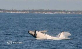 Prie Australijos krantų – kuprotojo banginio šou