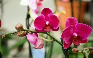Kaip priversti orchidėją žydėti?