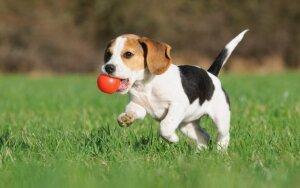 Ką reikėtų žinoti, norint nepakenkti auginamam šuniui