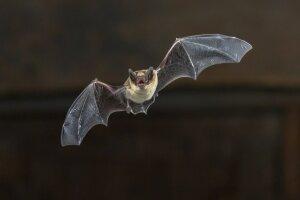 varpos šikšnosparniai