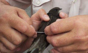 Išgelbėtas paukštis