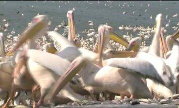Izraelyje maitinami tūkstančiai migruojančių pelikanų