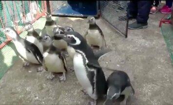 Po sėkmingos reabilitacijos atgal į jūrą grįžo devyni Magelano pingvinai