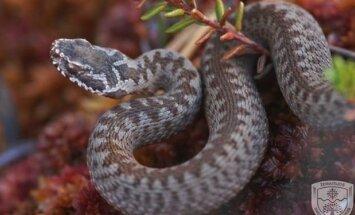Aukštapelkes mėgsta gyvatės marguolės