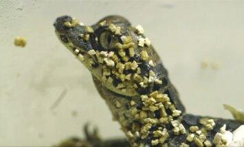 Kalifornijos zoologijos sode ritasi nykštukiniai krokodiliukai