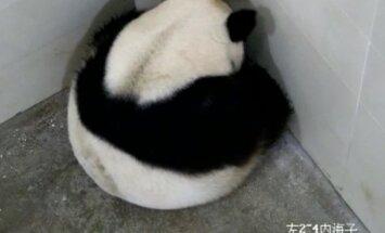 Didžioji panda atsivedė dvynukus būdama 23 metų amžiaus