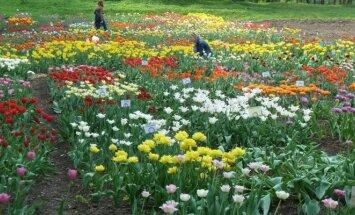 Žydinčios tulpės