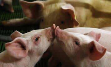 Kiaulių ūkis