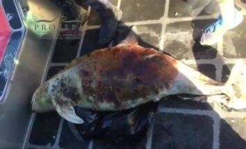 Netoli Meksikos krantų rasta subadyta jūrų kiaulė: pasaulyje jų likę yra vos 30