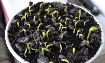 Tik ką pasėtas saulėgrąžų sėklas 1-2 dienoms reikėtų prislėgti, nes daigai dygs stipriai ir galingai.