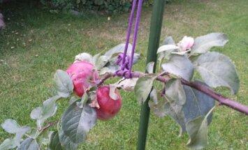 Obelys subrandino obuolius