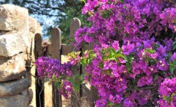 Tvorų ir pastatų sienų apželdinimas vijokliniais augalais