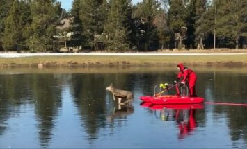 Oregone išgelbėtas ant ledo įstrigęs elnias