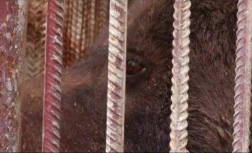 Gyvūnų teisių gynėjai Ukrainoje iš privataus zoologijos sodo išgelbėjo tris ruduosius lokius