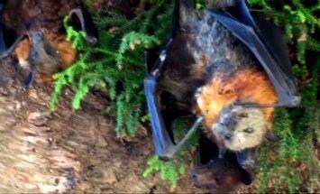 Negyvi šikšnosparniai Australijoje