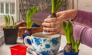 Ankstyvasis svogūninių gėlių pražydinimas