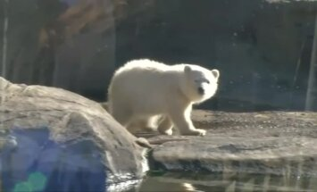 Ohajo zoologijos sode – pirmosios baltojo lokio mažylės maudynės