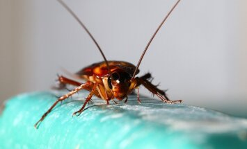 Mirk iš juoko: tarakonų gaudymui skirtus klijus Japonijoje išbandė ir žmonės