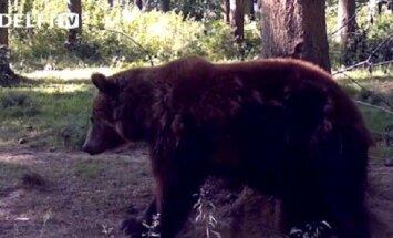 Miško lankytojų nufilmuota meška